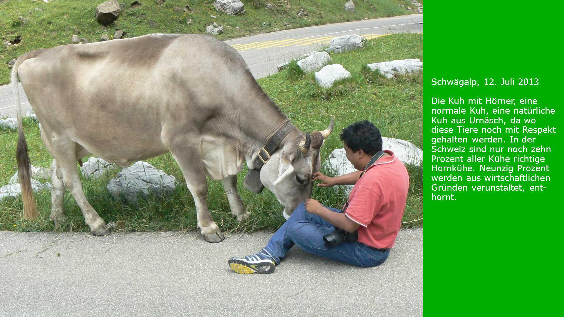 Schwägalp, 12. Juli 2013 Die Kuh mit Hörner, eine normale Kuh, eine natürliche Kuh aus Urnäsch, da wo diese Tiere noch mit Respekt gehalten werden. In