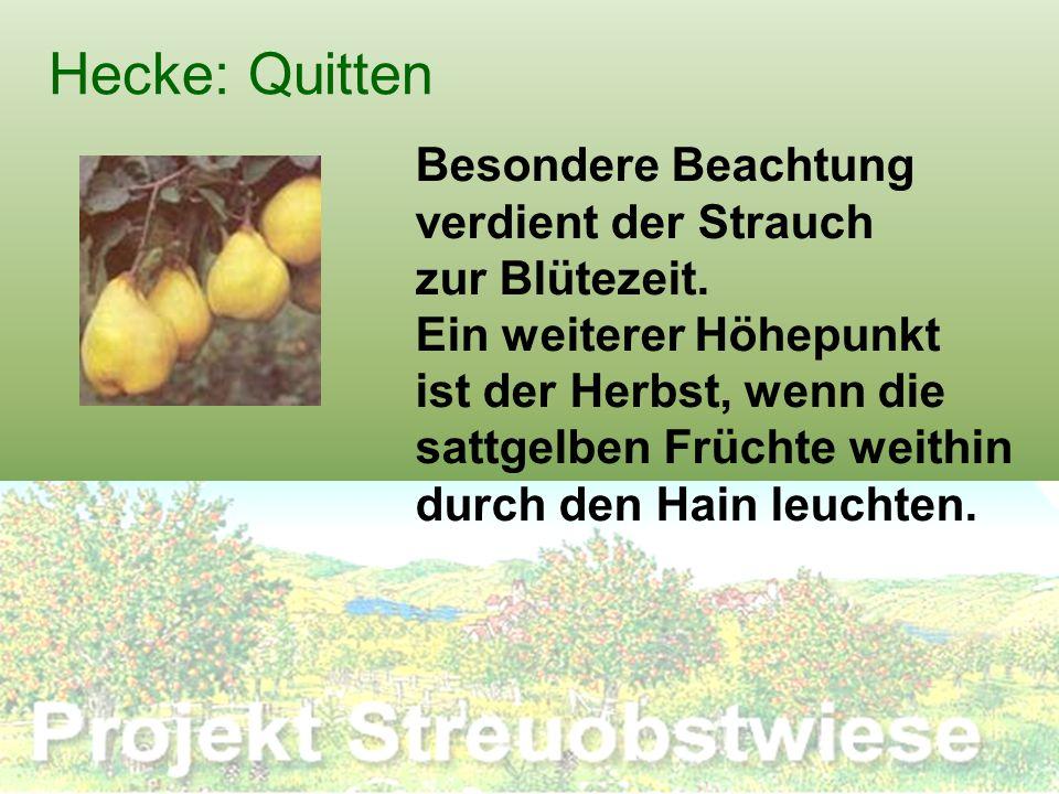Hecke: Quitten Besondere Beachtung verdient der Strauch zur Blütezeit. Ein weiterer Höhepunkt ist der Herbst, wenn die sattgelben Früchte weithin durc