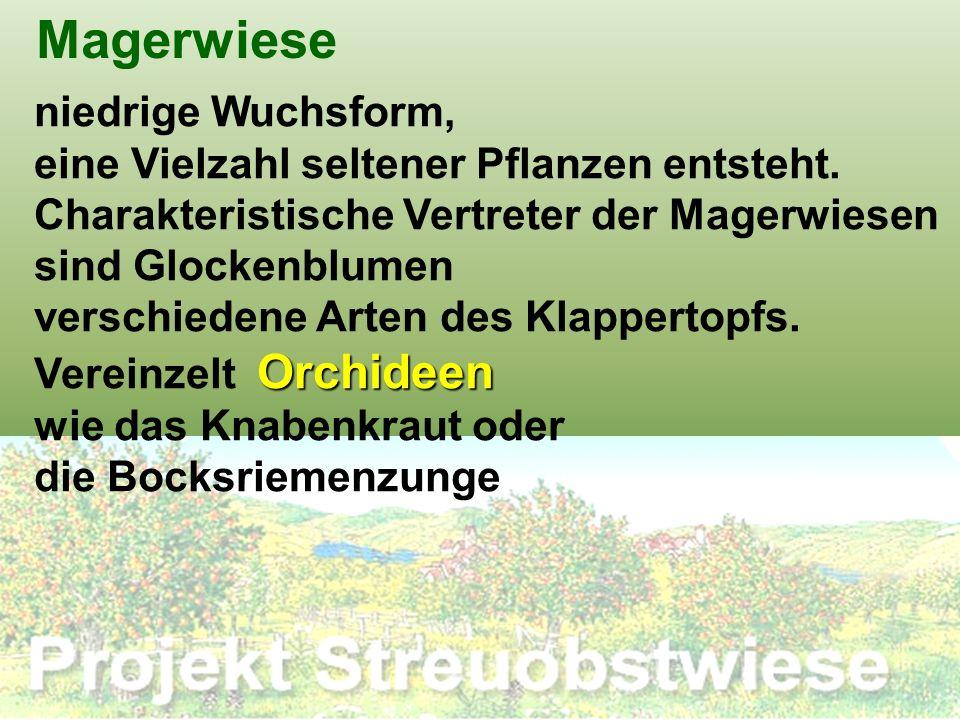 Magerwiese niedrige Wuchsform, eine Vielzahl seltener Pflanzen entsteht. Charakteristische Vertreter der Magerwiesen sind Glockenblumen verschiedene A