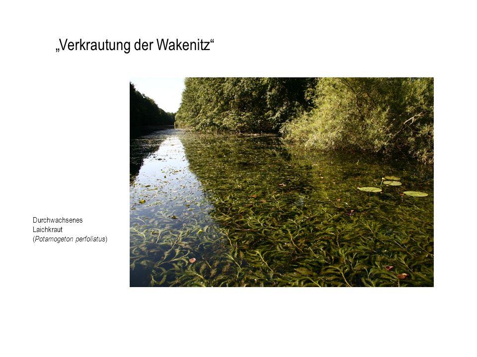 Verkrautung der Wakenitz Durchwachsenes Laichkraut ( Potamogeton perfoliatus )