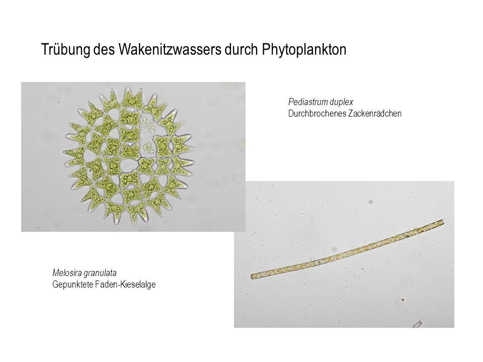 Melosira granulata Gepunktete Faden-Kieselalge Pediastrum duplex Durchbrochenes Zackenrädchen Trübung des Wakenitzwassers durch Phytoplankton