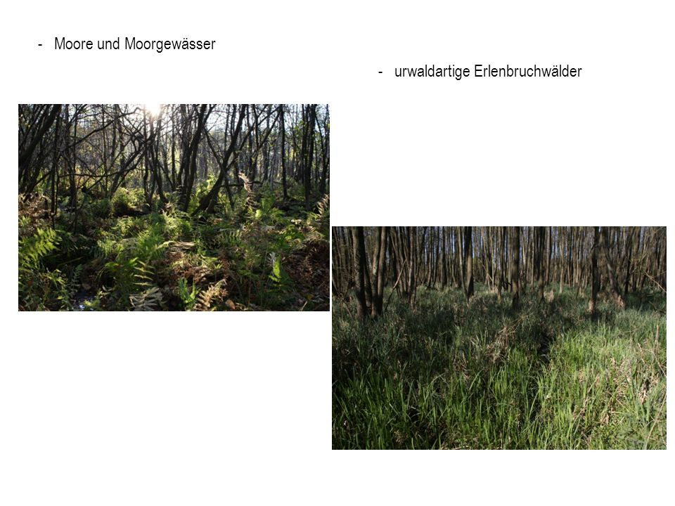 - Moore und Moorgewässer - urwaldartige Erlenbruchwälder