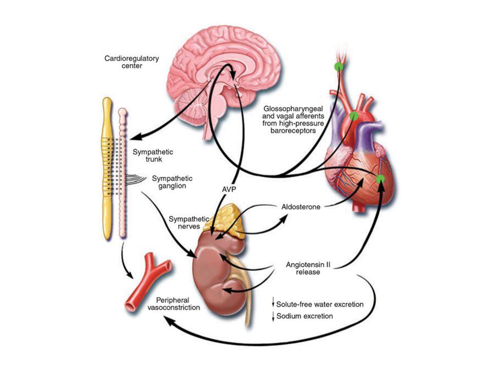 Herz Niere/Gefässe Natriuretische Peptide Volumenstatus Vasotonus