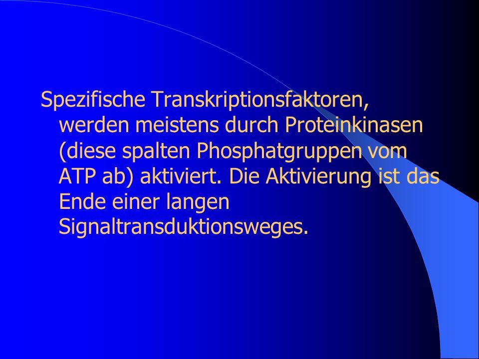 Spezifische Transkriptionsfaktoren, werden meistens durch Proteinkinasen (diese spalten Phosphatgruppen vom ATP ab) aktiviert. Die Aktivierung ist das