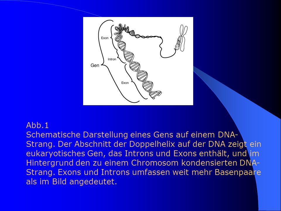 Abb.1 Schematische Darstellung eines Gens auf einem DNA- Strang. Der Abschnitt der Doppelhelix auf der DNA zeigt ein eukaryotisches Gen, das Introns u