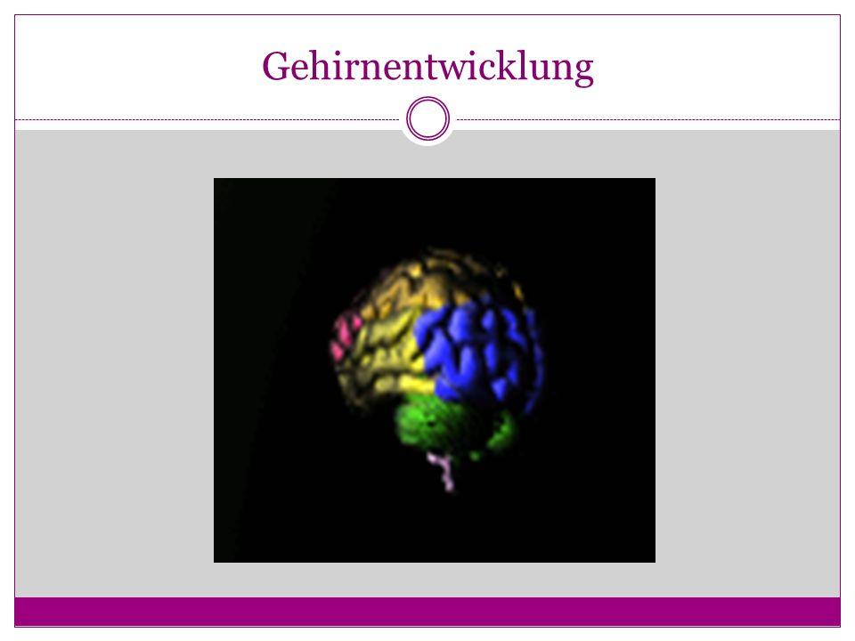 Gehirnentwicklung