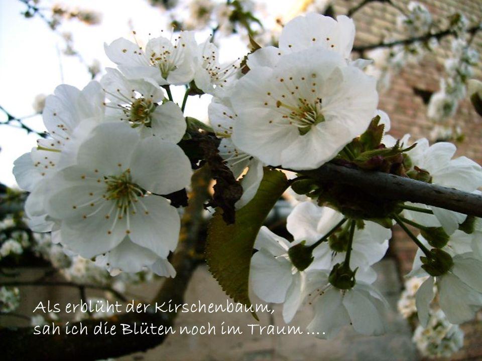 Als erblüht der Kirschenbaum, sah ich die Blüten noch im Traum ….