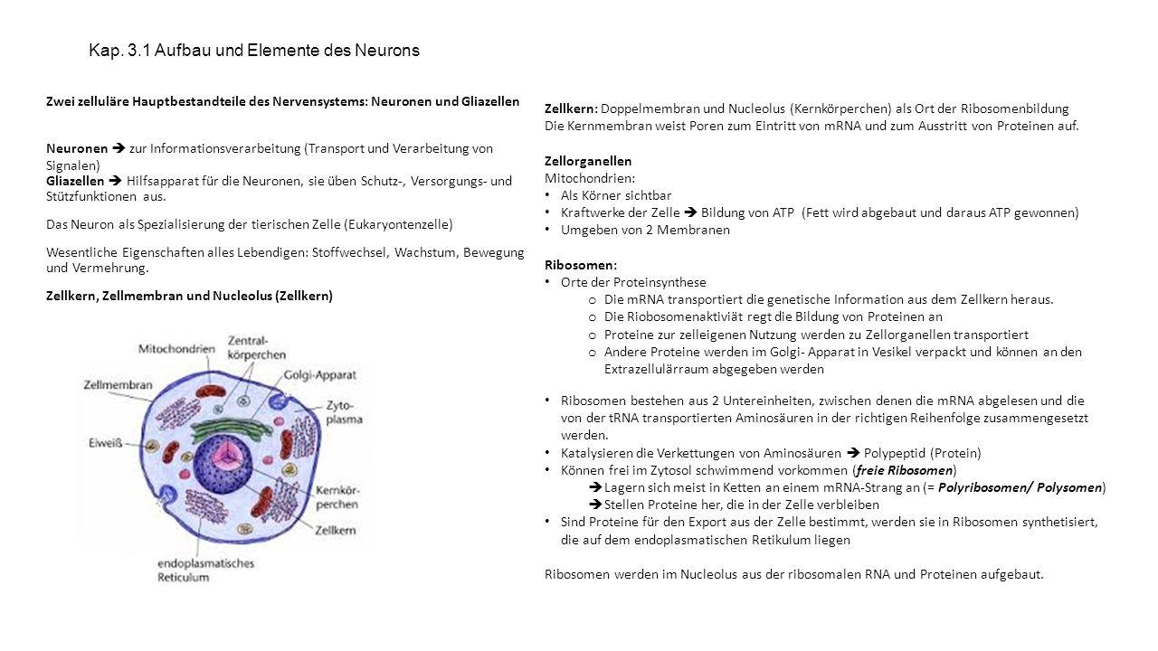 Kap. 3.1 Aufbau und Elemente des Neurons Zwei zelluläre Hauptbestandteile des Nervensystems: Neuronen und Gliazellen Neuronen zur Informationsverarbei