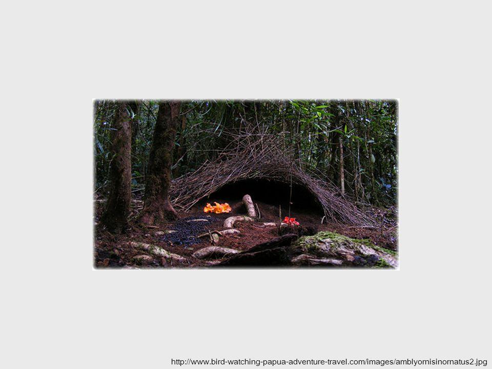 http://www.bird-watching-papua-adventure-travel.com/images/amblyornisinornatus2.jpg