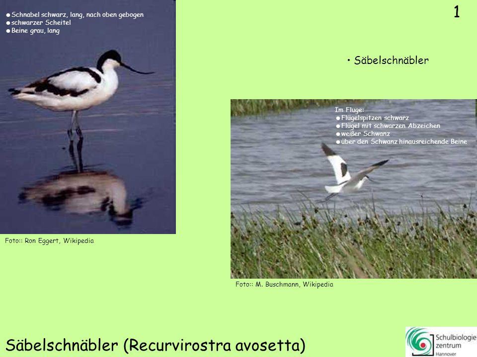 1 Säbelschnäbler (Recurvirostra avosetta) Foto:: Ron Eggert, Wikipedia Säbelschnäbler 1 Foto:: M. Buschmann, Wikipedia Schnabel schwarz, lang, nach ob