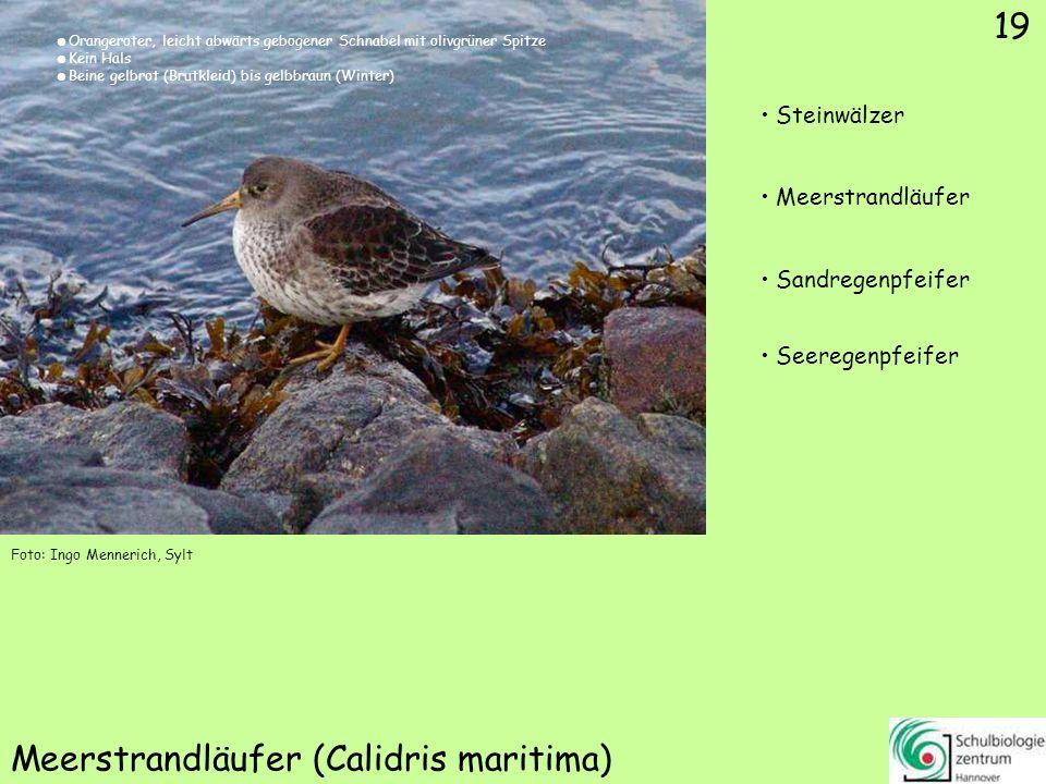 19 Meerstrandläufer (Calidris maritima) 19 Steinwälzer Meerstrandläufer Sandregenpfeifer Seeregenpfeifer Foto: Ingo Mennerich, Sylt Orangeroter, leich