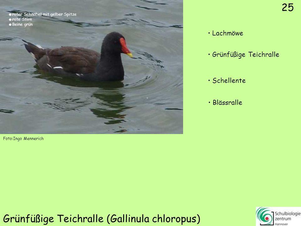 25 Grünfüßige Teichralle (Gallinula chloropus) Foto:Ingo Mennerich 25 Lachmöwe Grünfüßige Teichralle Schellente Blässralle roter Schnabel mit gelber S