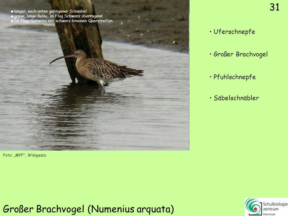 31 Großer Brachvogel (Numenius arquata) Foto: MPF, Wikipedia 31 Uferschnepfe Großer Brachvogel Pfuhlschnepfe Säbelschnäbler langer, nach unten gebogen