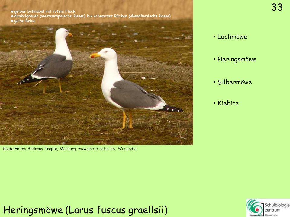 33 Heringsmöwe (Larus fuscus graellsii) 33 Lachmöwe Heringsmöwe Silbermöwe Kiebitz Beide Fotos: Andreas Trepte, Marburg, www.photo-natur.de, Wikipedia
