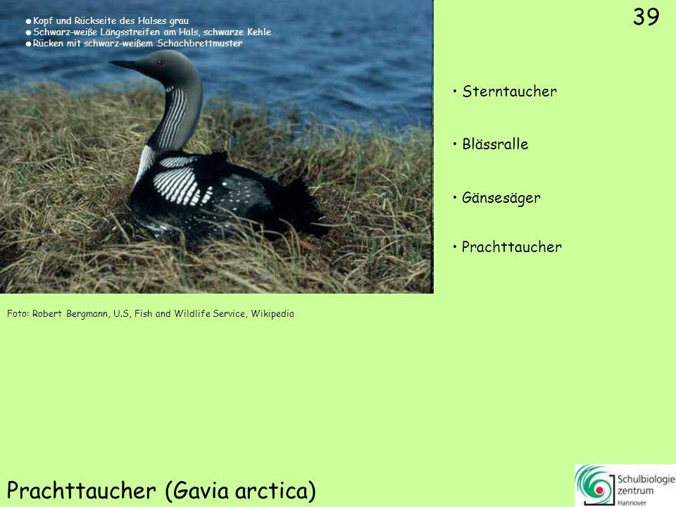 39 Prachttaucher (Gavia arctica) Foto: Robert Bergmann, U.S, Fish and Wildlife Service, Wikipedia 39 Sterntaucher Blässralle Gänsesäger Prachttaucher
