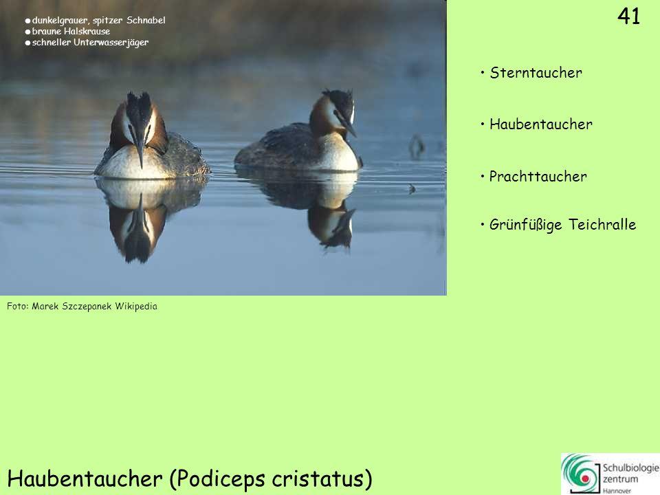 41 Haubentaucher (Podiceps cristatus) Foto: Marek Szczepanek Wikipedia 41 Sterntaucher Haubentaucher Prachttaucher Grünfüßige Teichralle dunkelgrauer,