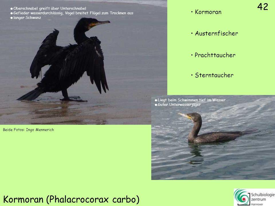 42 Kormoran (Phalacrocorax carbo) Beide Fotos: Ingo Mennerich 42 Kormoran Austernfischer Prachttaucher Sterntaucher Oberschnabel greift über Unterschn