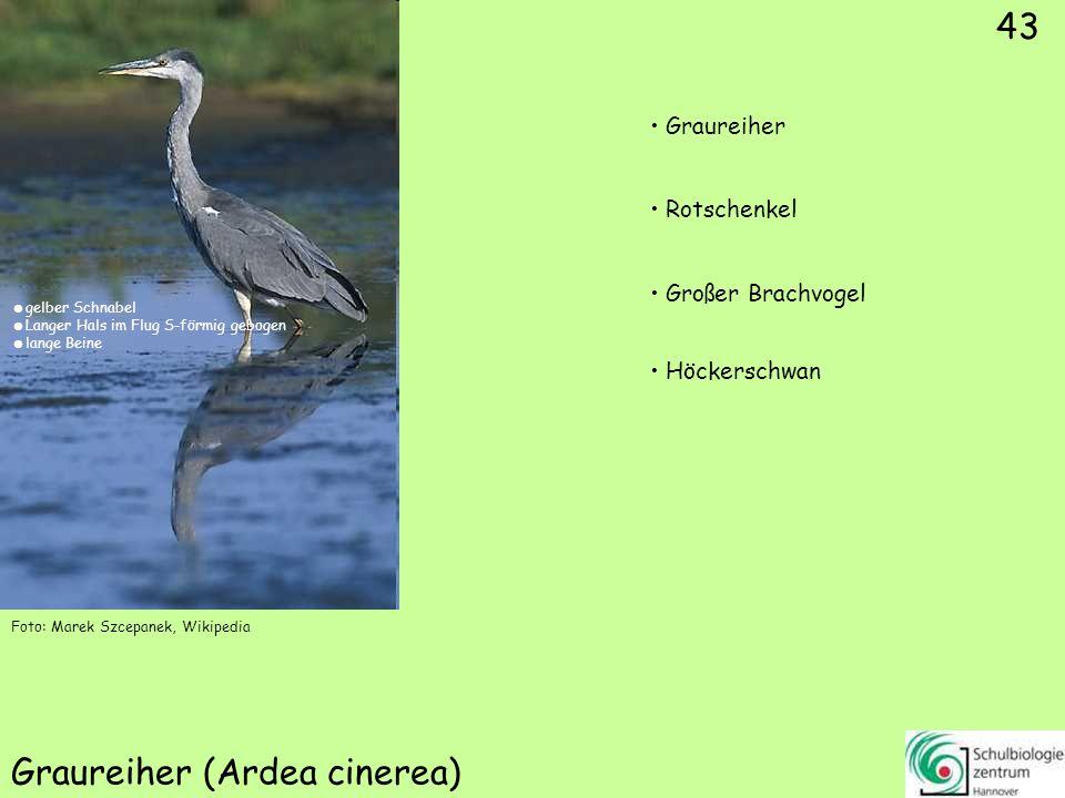 43 Graureiher (Ardea cinerea) Foto: Marek Szcepanek, Wikipedia 43 Graureiher Rotschenkel Großer Brachvogel Höckerschwan gelber Schnabel Langer Hals im