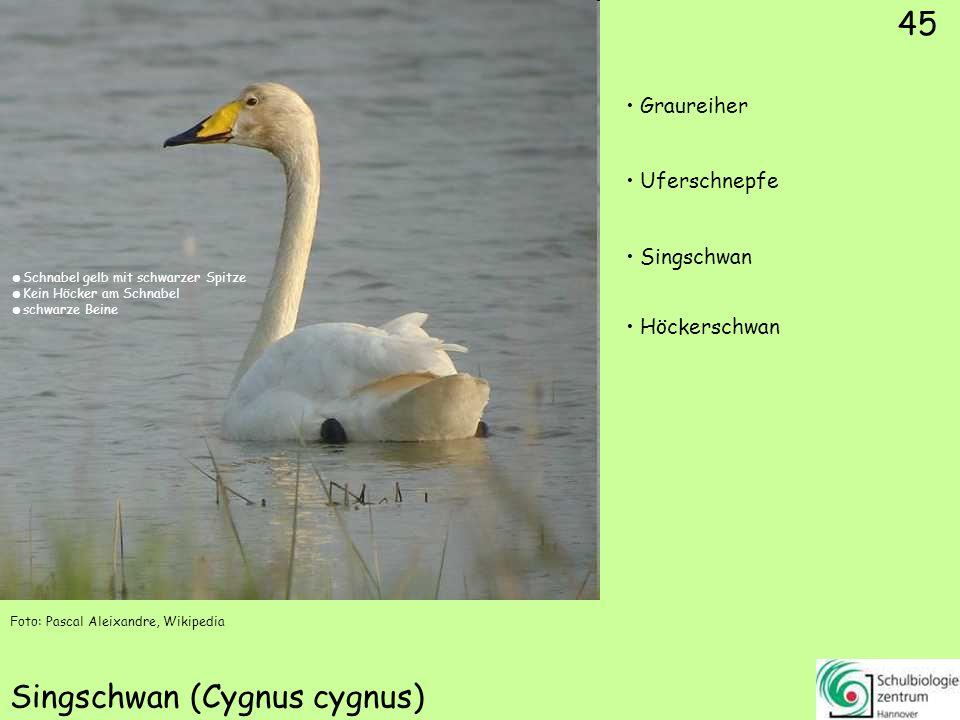 45 Singschwan (Cygnus cygnus) Foto: Pascal Aleixandre, Wikipedia 45 Graureiher Uferschnepfe Singschwan Höckerschwan Schnabel gelb mit schwarzer Spitze