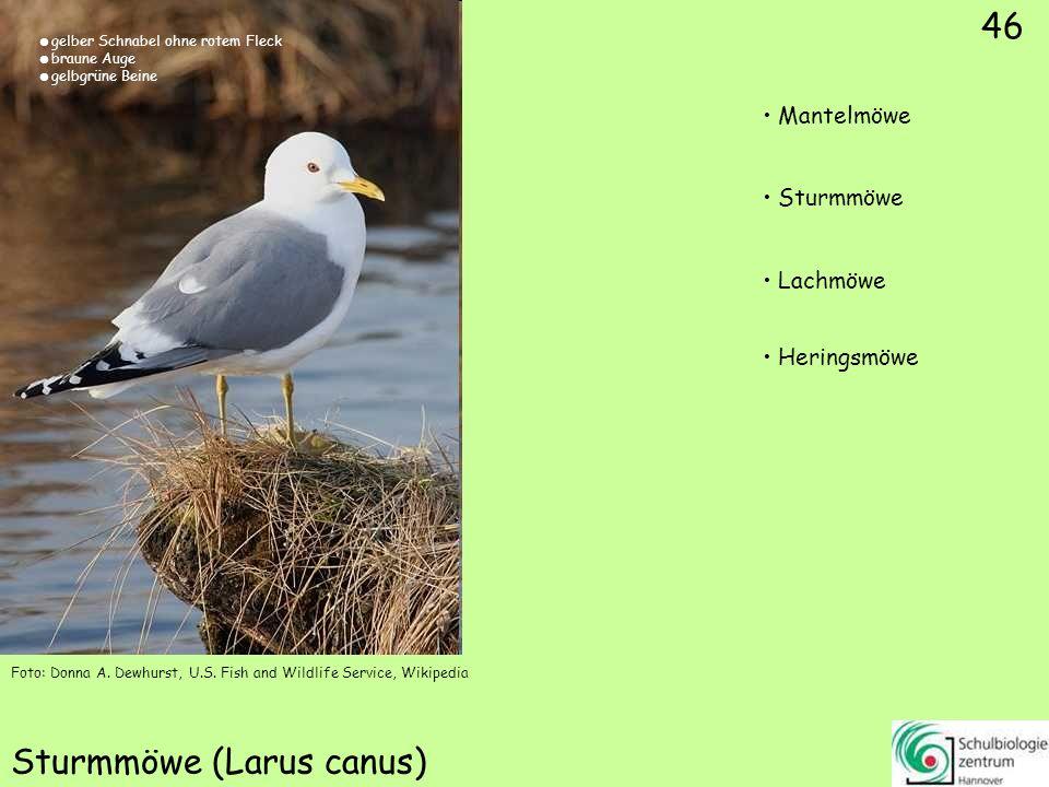 46 Sturmmöwe (Larus canus) Foto: Donna A. Dewhurst, U.S. Fish and Wildlife Service, Wikipedia 46 Mantelmöwe Sturmmöwe Lachmöwe Heringsmöwe gelber Schn