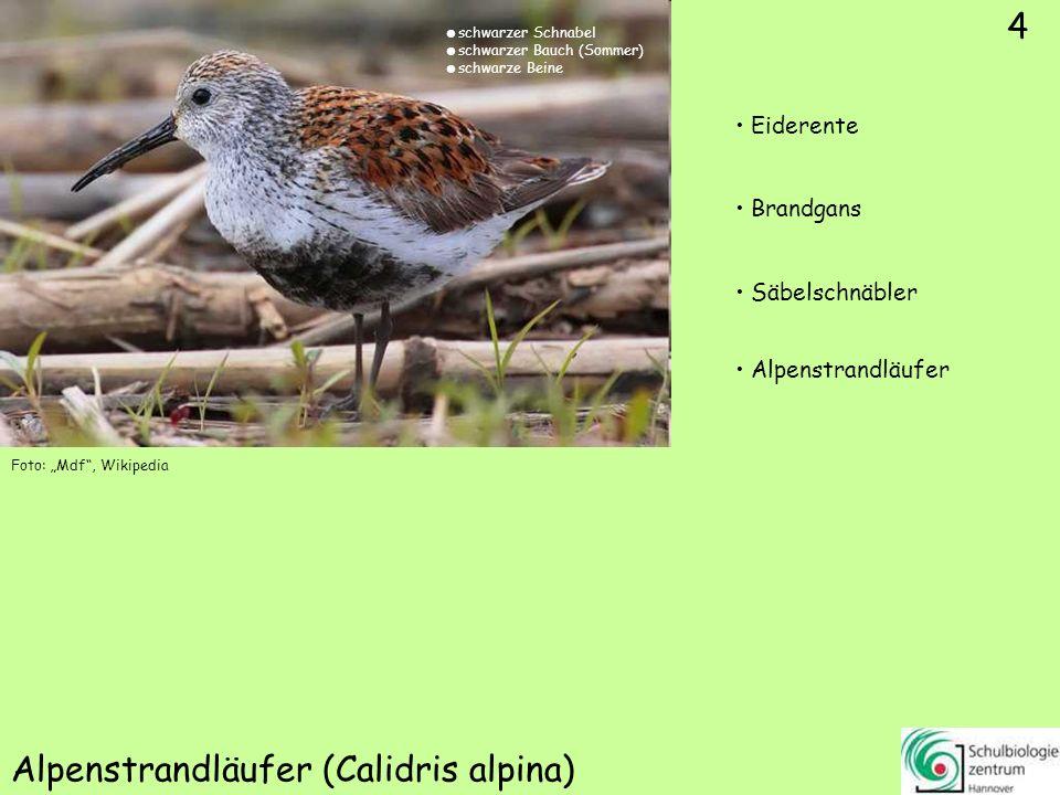 4 Alpenstrandläufer (Calidris alpina) Foto: Mdf, Wikipedia 4 Eiderente Brandgans Säbelschnäbler Alpenstrandläufer schwarzer Schnabel schwarzer Bauch (