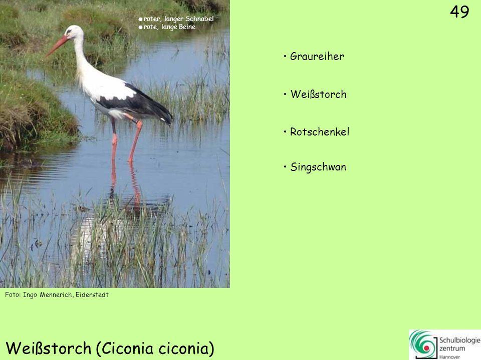 49 Weißstorch (Ciconia ciconia) Foto: Ingo Mennerich, Eiderstedt 49 Graureiher Weißstorch Rotschenkel Singschwan roter, langer Schnabel rote, lange Be