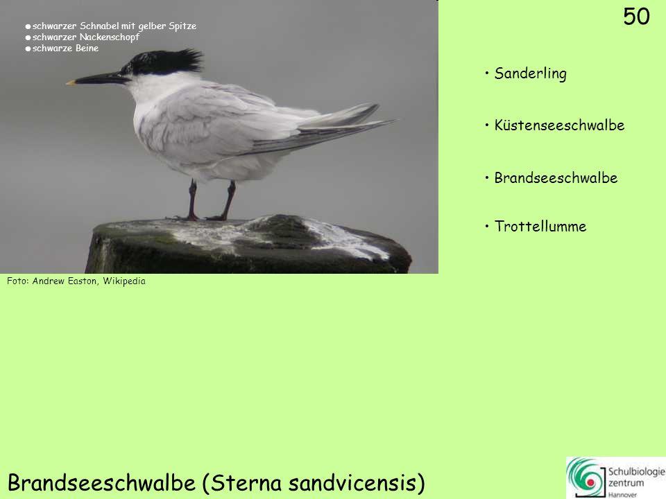 50 Brandseeschwalbe (Sterna sandvicensis) Foto: Andrew Easton, Wikipedia 50 Sanderling Küstenseeschwalbe Brandseeschwalbe Trottellumme schwarzer Schna