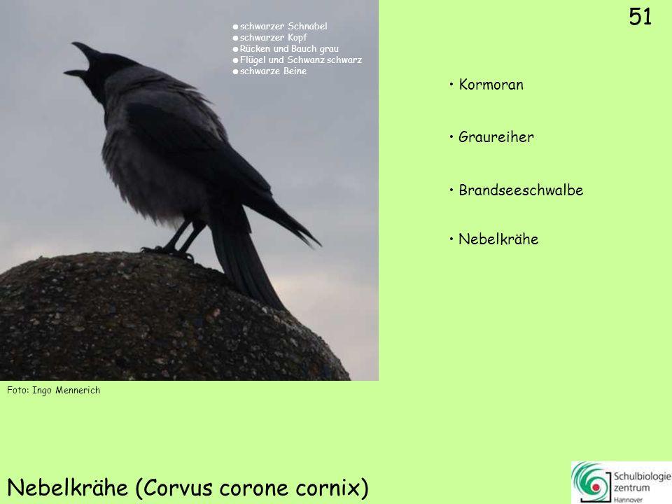 51 Nebelkrähe (Corvus corone cornix) Foto: Ingo Mennerich 51 Kormoran Graureiher Brandseeschwalbe Nebelkrähe schwarzer Schnabel schwarzer Kopf Rücken
