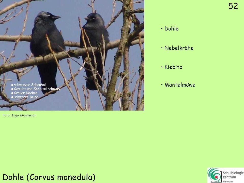 52 Dohle (Corvus monedula) 52 Dohle Nebelkrähe Kiebitz Mantelmöwe Foto: Ingo Mennerich schwarzer Schnabel Gesicht und Scheitel schwarz Grauer Nacken s