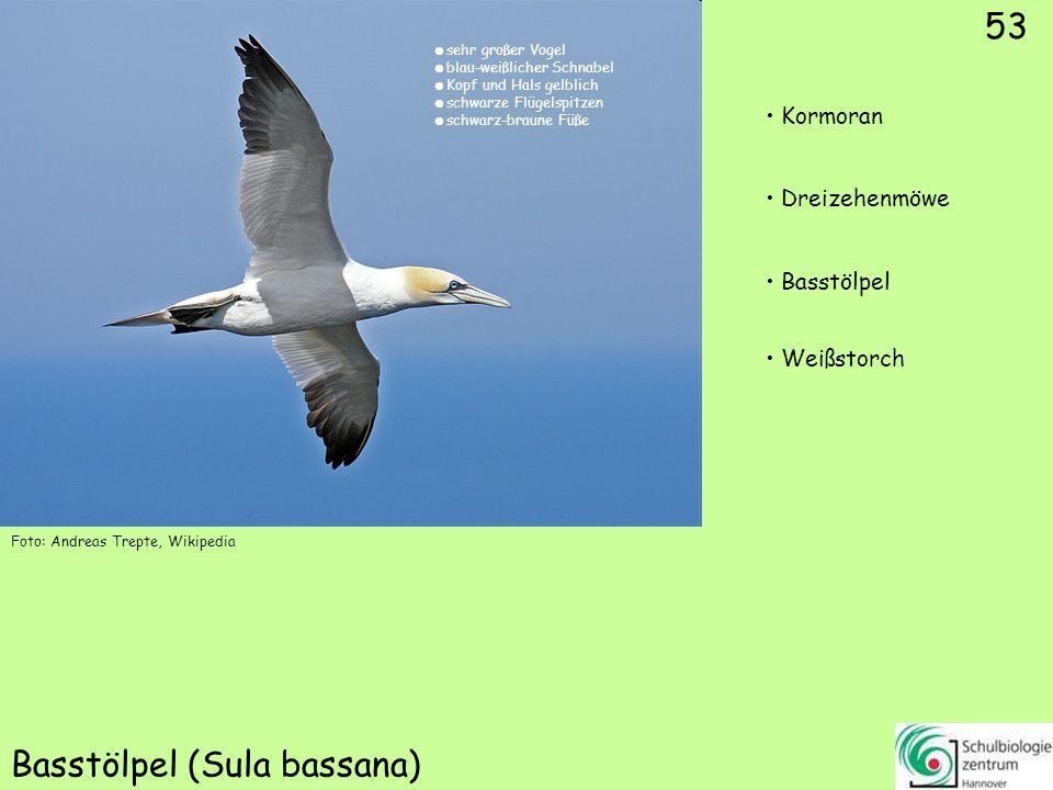 53 Basstölpel (Sula bassana) 53 Kormoran Dreizehenmöwe Basstölpel Weißstorch Foto: Andreas Trepte, Wikipedia sehr großer Vogel blau-weißlicher Schnabe