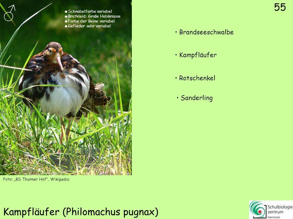 55 Kampfläufer (Philomachus pugnax) Foto: BS Thurner Hof, Wikipedia 55 Brandseeschwalbe Kampfläufer Rotschenkel Sanderling Schnabelfarbe variabel Brut