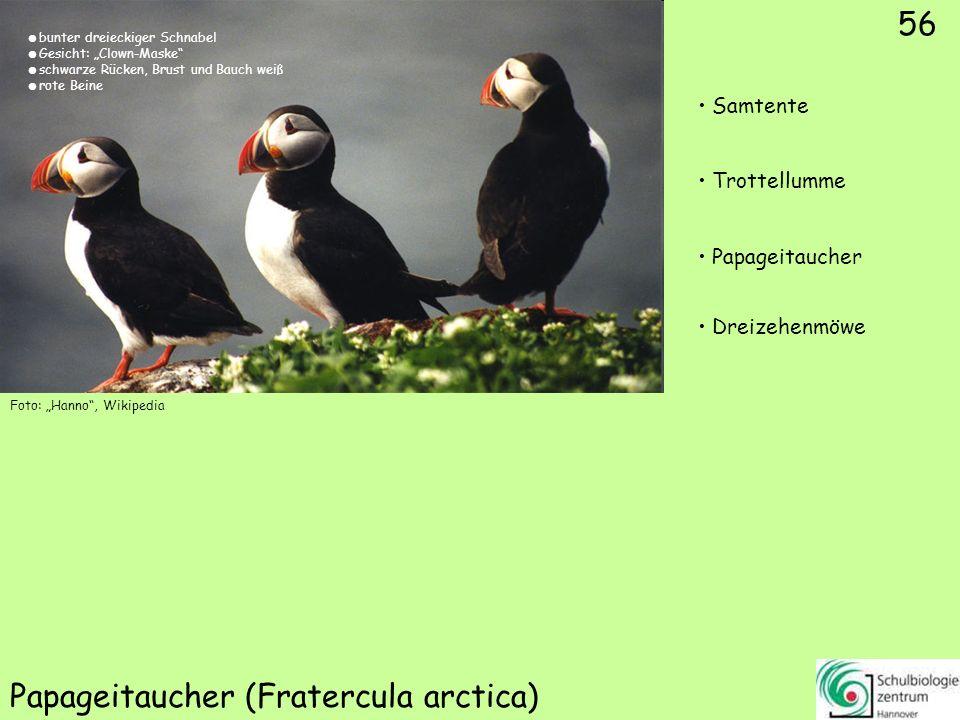 56 Papageitaucher (Fratercula arctica) Foto: Hanno, Wikipedia 56 Samtente Trottellumme Papageitaucher Dreizehenmöwe bunter dreieckiger Schnabel Gesich