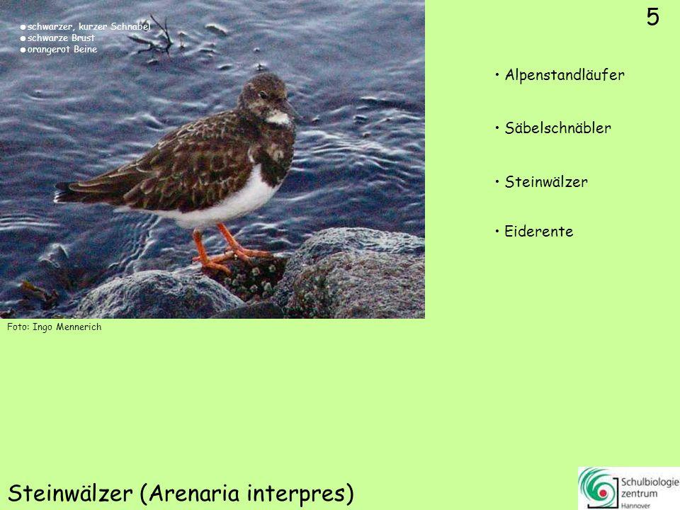 5 Steinwälzer (Arenaria interpres) Foto: Ingo Mennerich 5 Alpenstandläufer Säbelschnäbler Steinwälzer Eiderente schwarzer, kurzer Schnabel schwarze Br