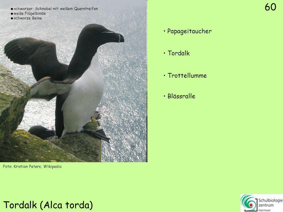 60 Tordalk (Alca torda) Foto: Kristian Peters, Wikipedia 60 Papageitaucher Tordalk Trottellumme Blässralle schwarzer Schnabel mit weißem Querstreifen