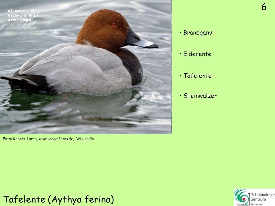 6 Tafelente (Aythya ferina) Foto: Robert Lorch, www.voegelfotos.de, Wikipedia 6 Brandgans Eiderente Tafelente Steinwälzer brauner Kopf schwarze Brust