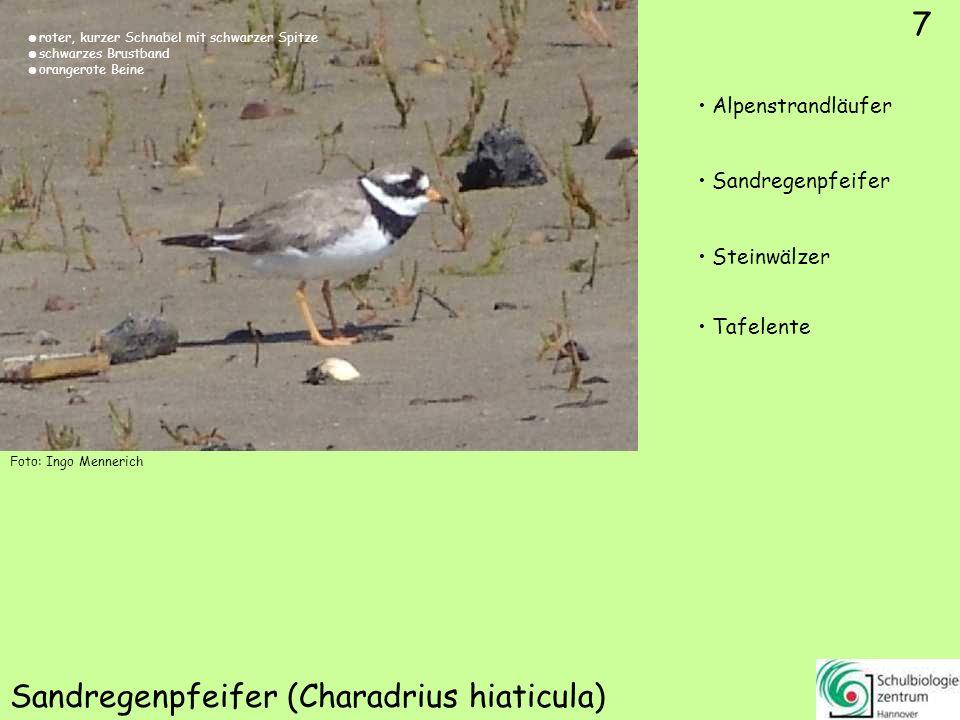 7 Sandregenpfeifer (Charadrius hiaticula) 7 Alpenstrandläufer Sandregenpfeifer Steinwälzer Tafelente Foto: Ingo Mennerich roter, kurzer Schnabel mit s