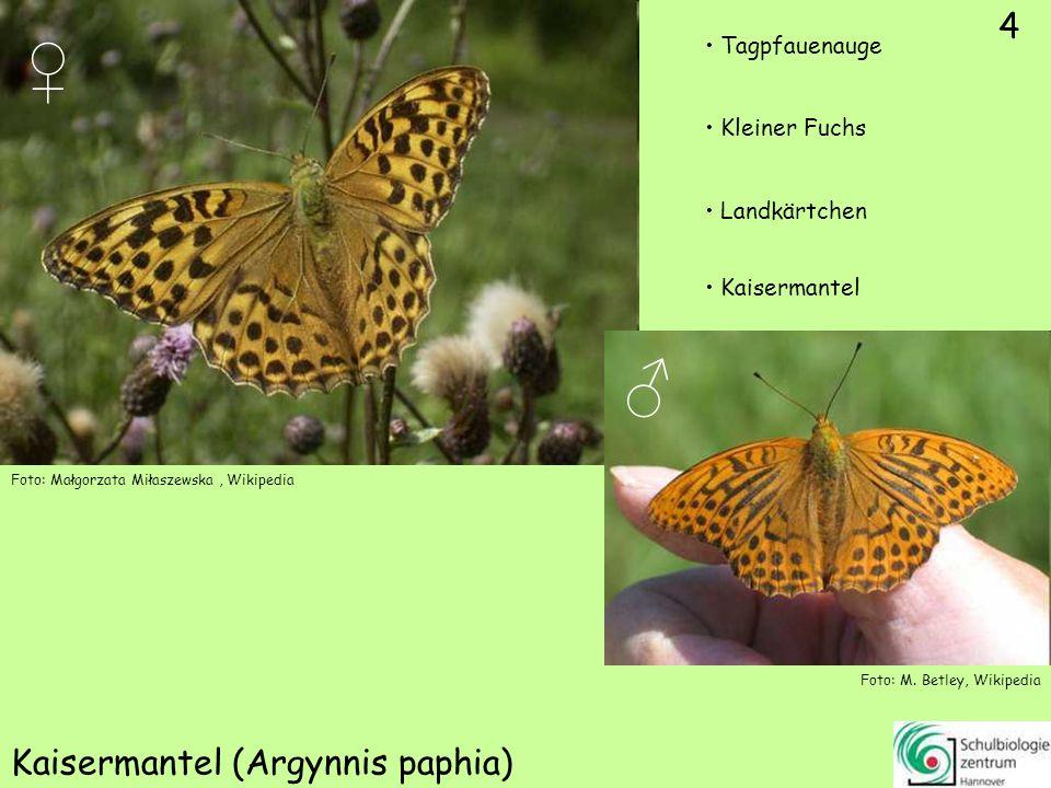 4 Kaisermantel (Argynnis paphia) Foto: Małgorzata Miłaszewska, Wikipedia Foto: M.