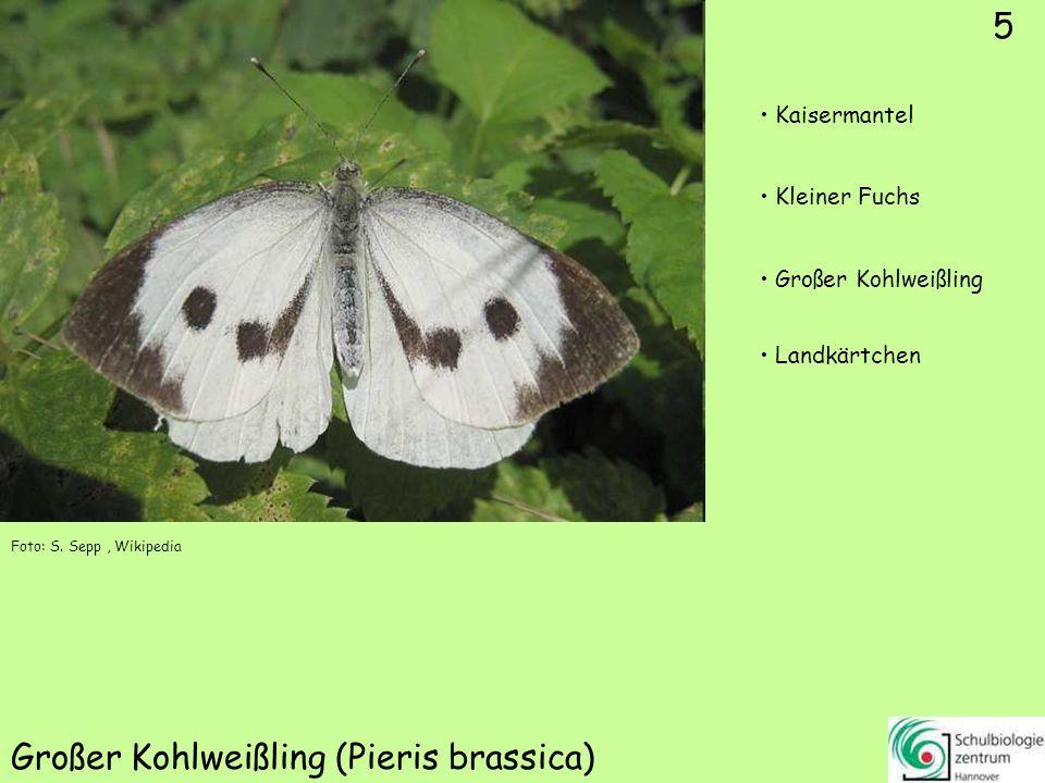 5 Großer Kohlweißling (Pieris brassica) Foto: S.