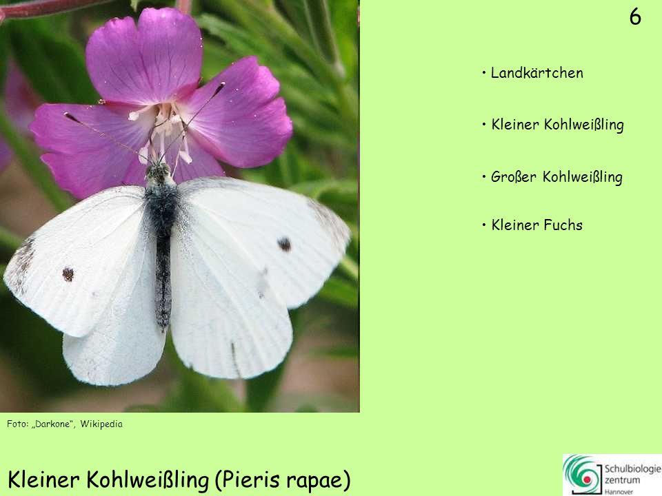 16 Zitronenfalter (Gonepteryx rhamni) Foto: Jörg Hempel, Wikipedia Foto: Harald Süpfle, Wikipedia 16 Kleiner Fuchs Kleiner Kohlweißling Zitronenfalter Landkärtchen
