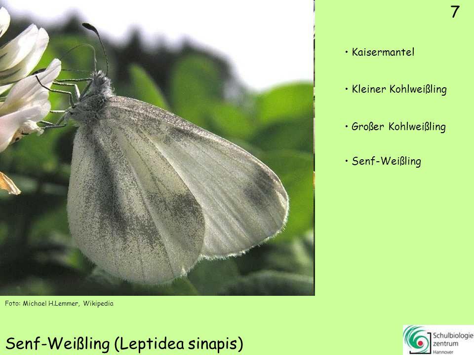 7 Senf-Weißling (Leptidea sinapis) Foto: Michael H.Lemmer, Wikipedia 7 Kaisermantel Kleiner Kohlweißling Großer Kohlweißling Senf-Weißling