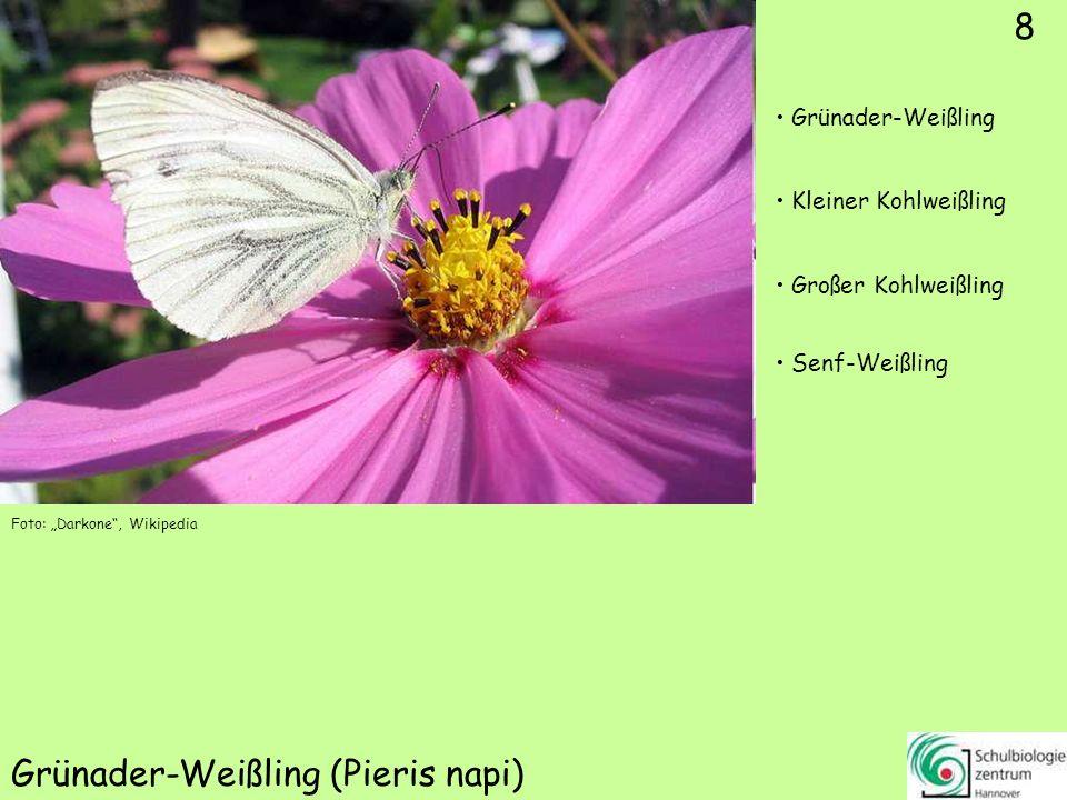 8 Grünader-Weißling (Pieris napi) Foto: Darkone, Wikipedia 8 Grünader-Weißling Kleiner Kohlweißling Großer Kohlweißling Senf-Weißling
