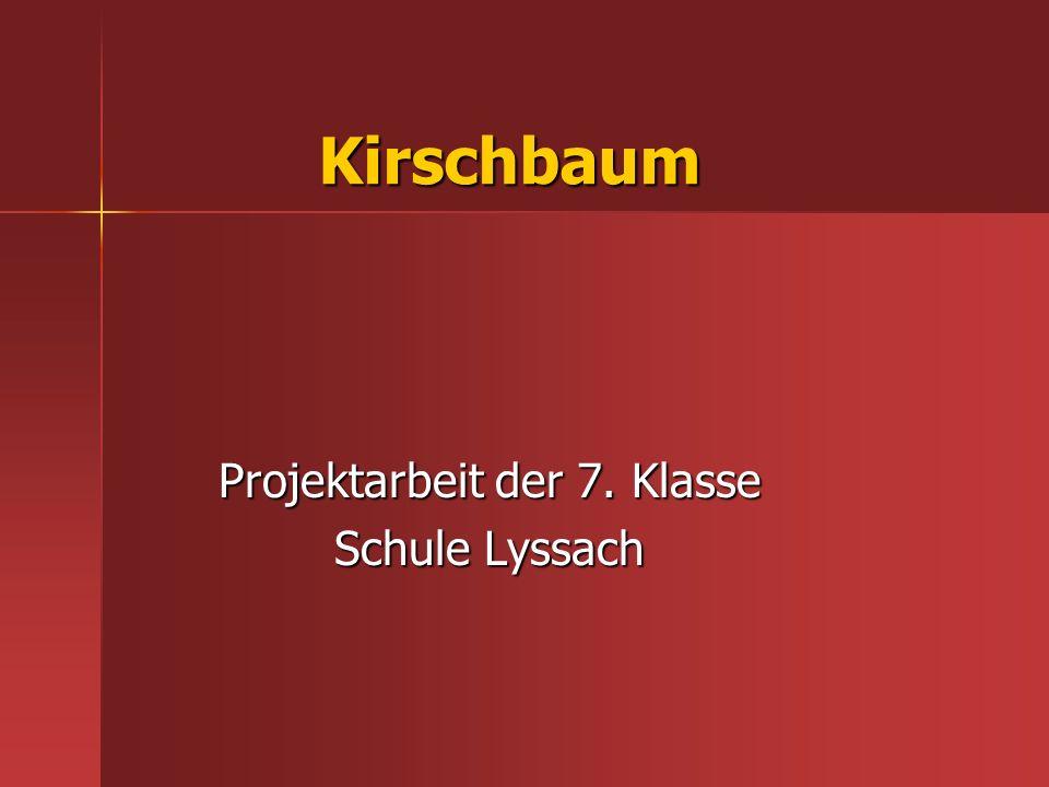 Kirschbaum Projektarbeit der 7. Klasse Schule Lyssach