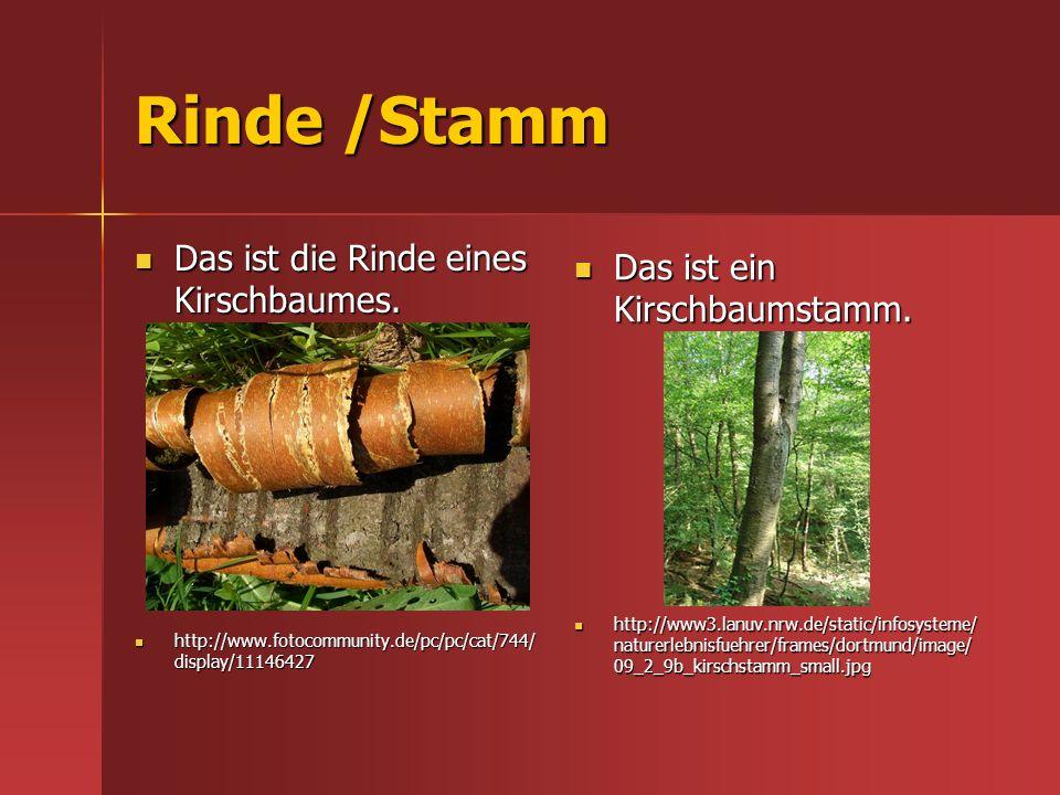 Rinde /Stamm Das ist die Rinde eines Kirschbaumes. Das ist die Rinde eines Kirschbaumes. http://www.fotocommunity.de/pc/pc/cat/744/ display/11146427 h