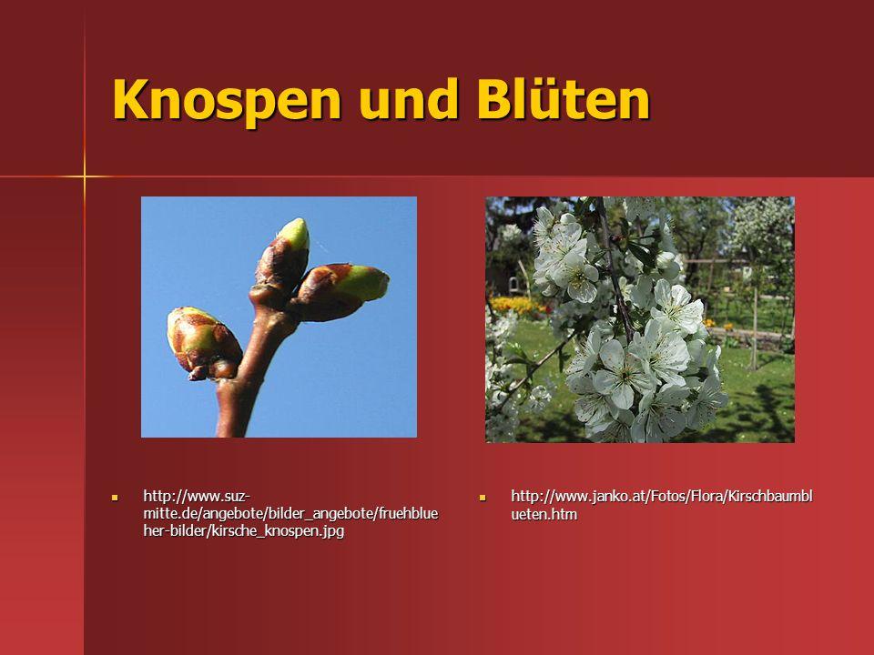 Knospen und Blüten http://www.suz- mitte.de/angebote/bilder_angebote/fruehblue her-bilder/kirsche_knospen.jpg http://www.suz- mitte.de/angebote/bilder