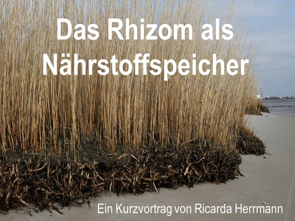 Das Rhizom als Nährstoffspeicher Ein Kurzvortrag von Ricarda Herrmann