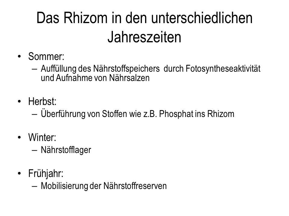 Das Rhizom in den unterschiedlichen Jahreszeiten Sommer: – Auffüllung des Nährstoffspeichers durch Fotosyntheseaktivität und Aufnahme von Nährsalzen H