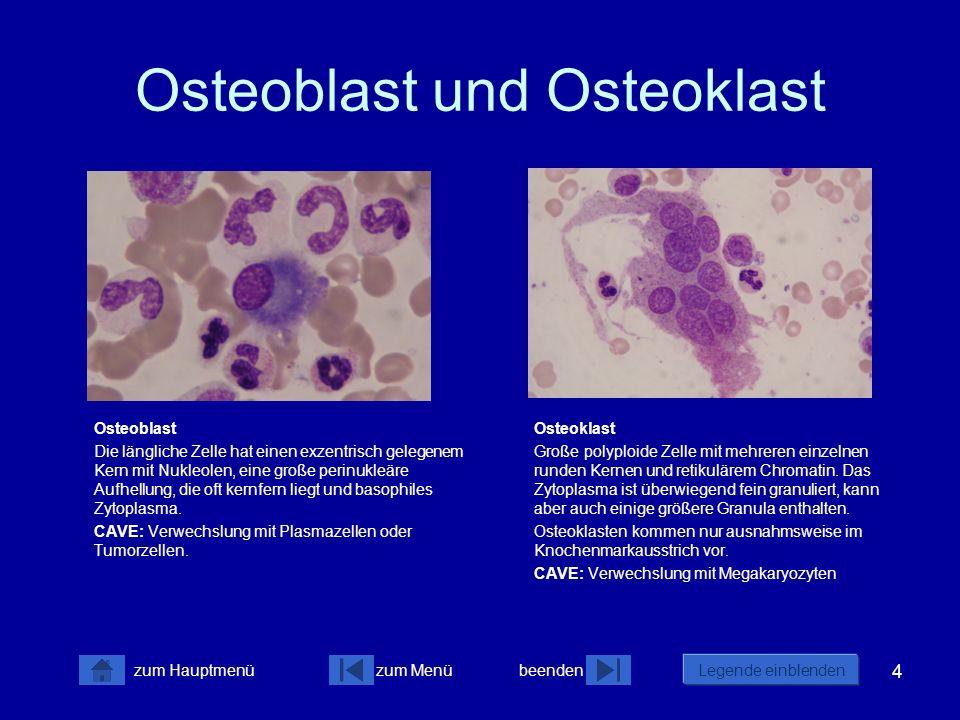 4 zum Menübeenden Legende einblenden zum Hauptmenü Osteoblast und Osteoklast Osteoblast Die längliche Zelle hat einen exzentrisch gelegenem Kern mit N