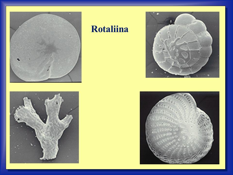 Rotaliina
