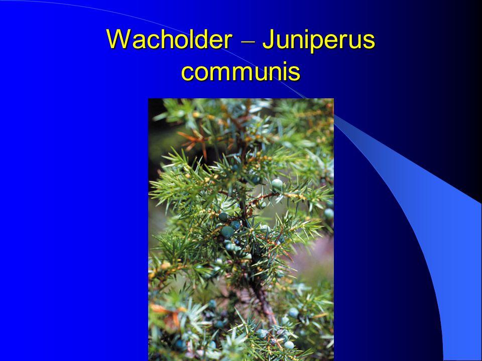 Wacholder – Juniperus communis