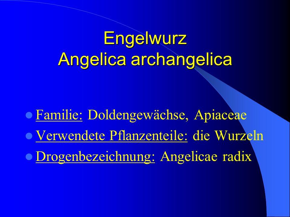 Engelwurz Angelica archangelica Familie: Doldengewächse, Apiaceae Verwendete Pflanzenteile: die Wurzeln Drogenbezeichnung: Angelicae radix